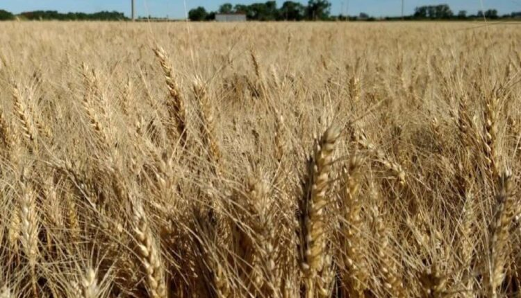 More-than-25-of-the-wheat-to-be-harvested-at.jpg